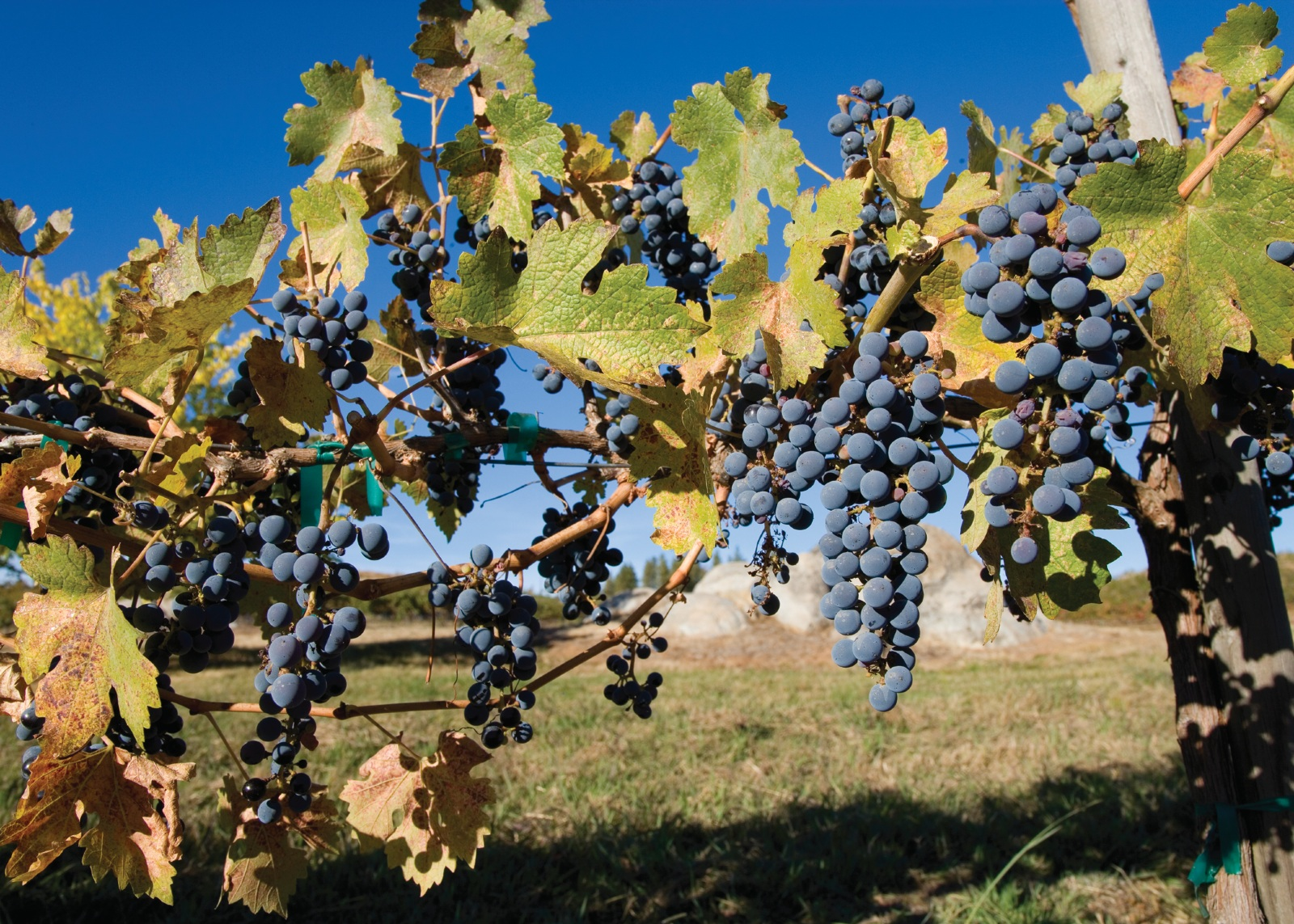 Vineyards in El Dorado County, California.